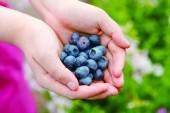 無農薬のブルーベリー摘みは6月30日スタートです ☆ 那須 花と体験の森